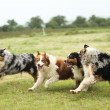 stock-photo-australian-shepherd-running