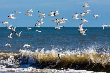 Little Terns in flight