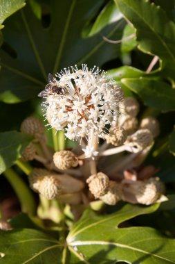 Bee feeding on flowering Castor Oil plant (ricinus communis)