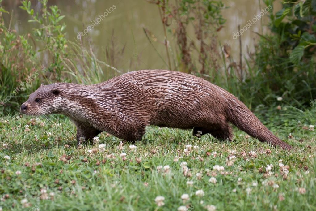 Otter walking along the waters edge