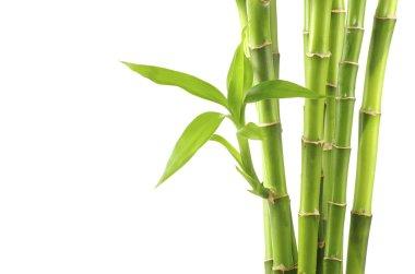 Bamboo on white background