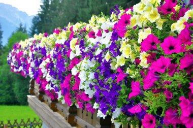 Petunia in Alps