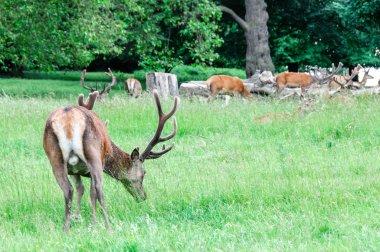Deer walking and eating grass
