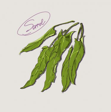 Vector drawing of leafy green sorrel
