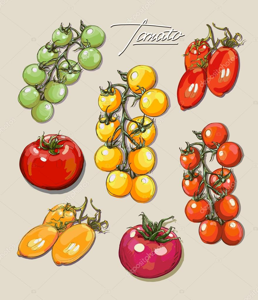 vector hand drawing set  tomatoes