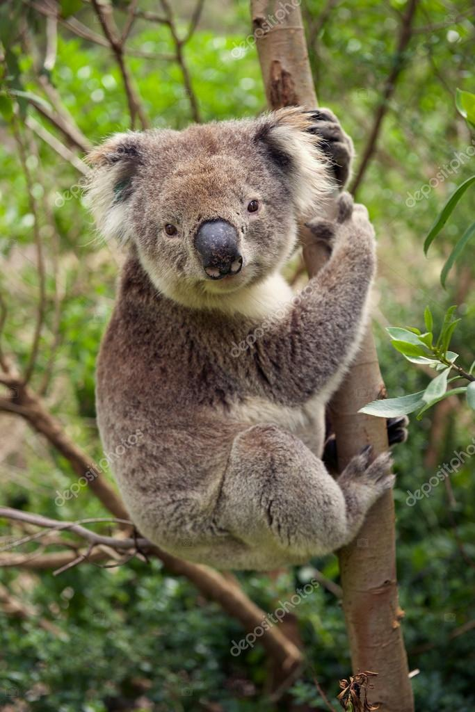 Koala bear sitting in a tree