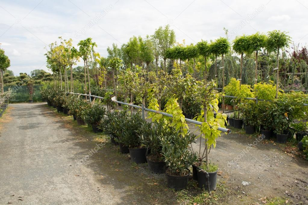 Trees for sale in a row, in pots