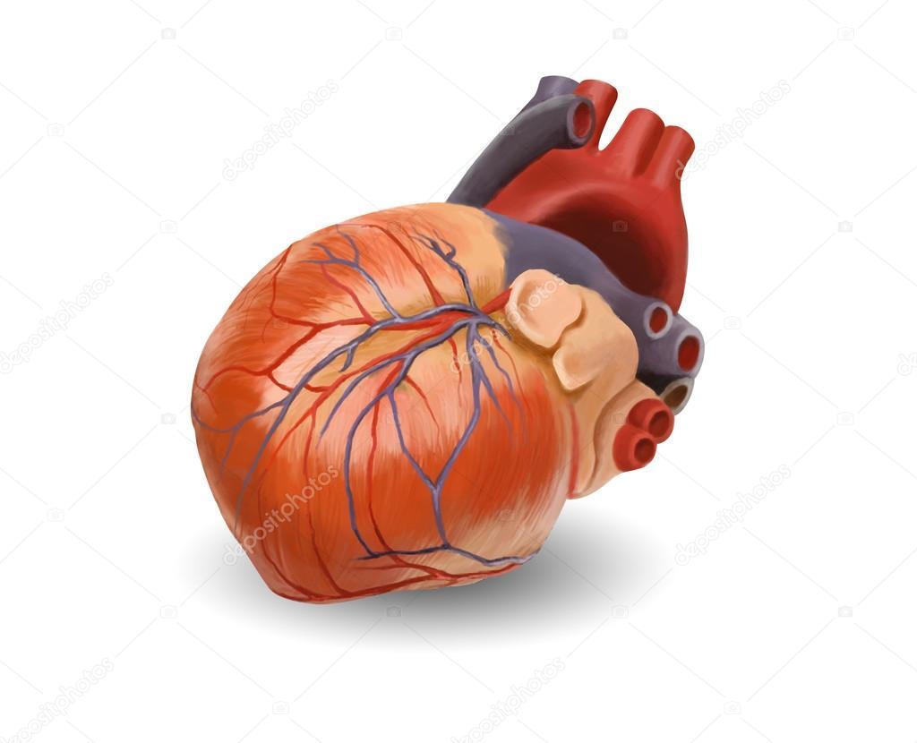 Anatomía del corazón humano. pintado ilustración - ruta mantenga a ...