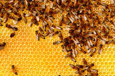 včely medonosné