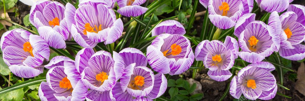 Purple crocus panorama