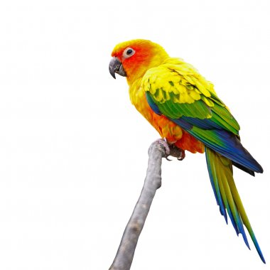 Sun Conure isolated