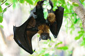 Photo Flying Fox
