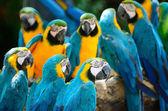 modrá a zlatá papoušek