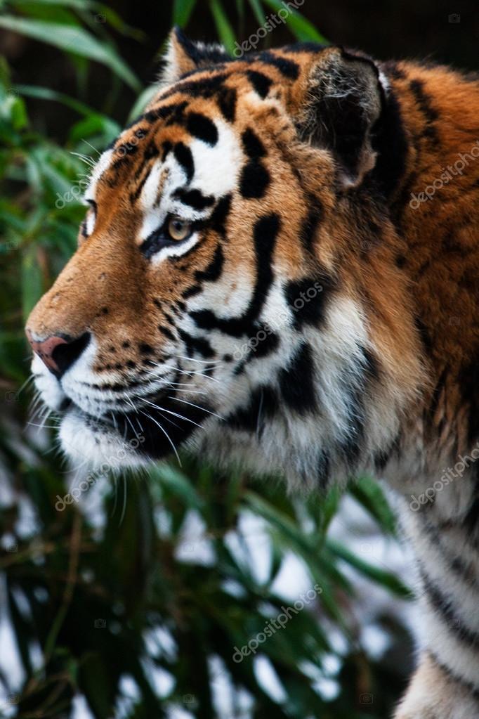 Portrait t te de tigre profil photographie vlasiadis22 - Image tete de tigre ...