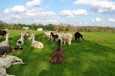 Lazy Summer Days for the Alpacas