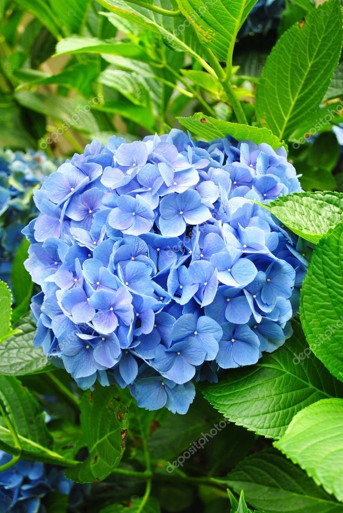 Growing Blue Hydrangea