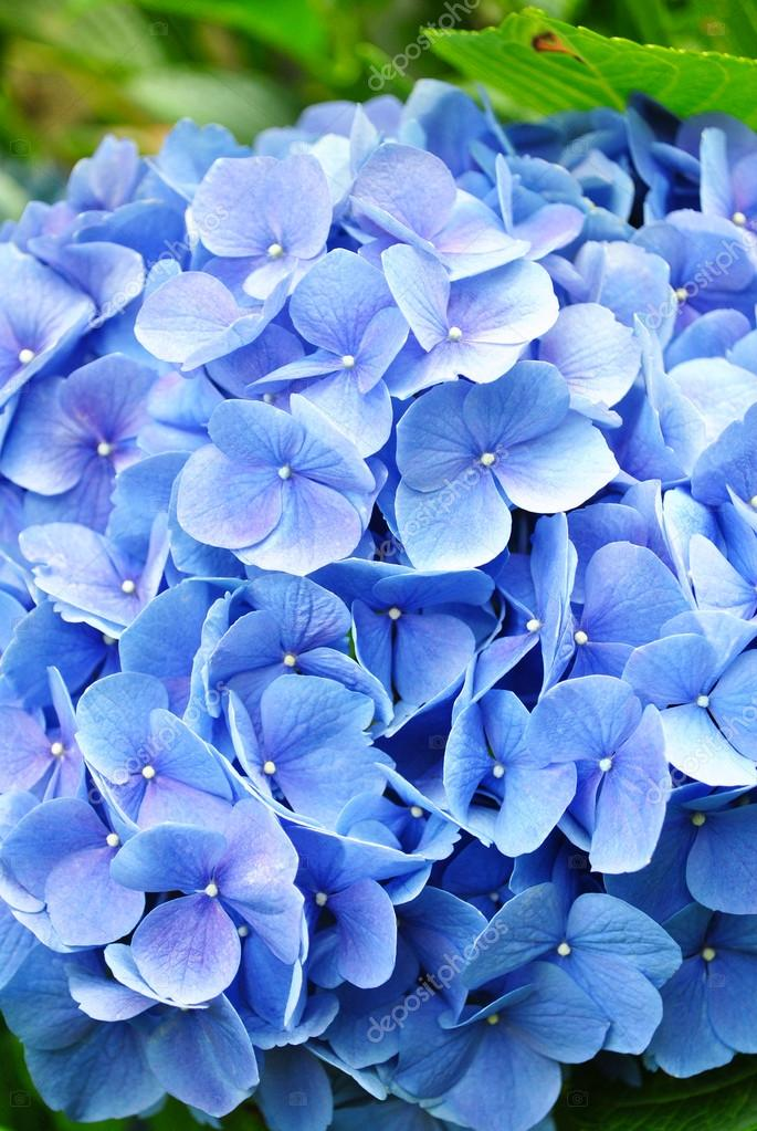 Close-Up of a Hydrangea Flower in Summer