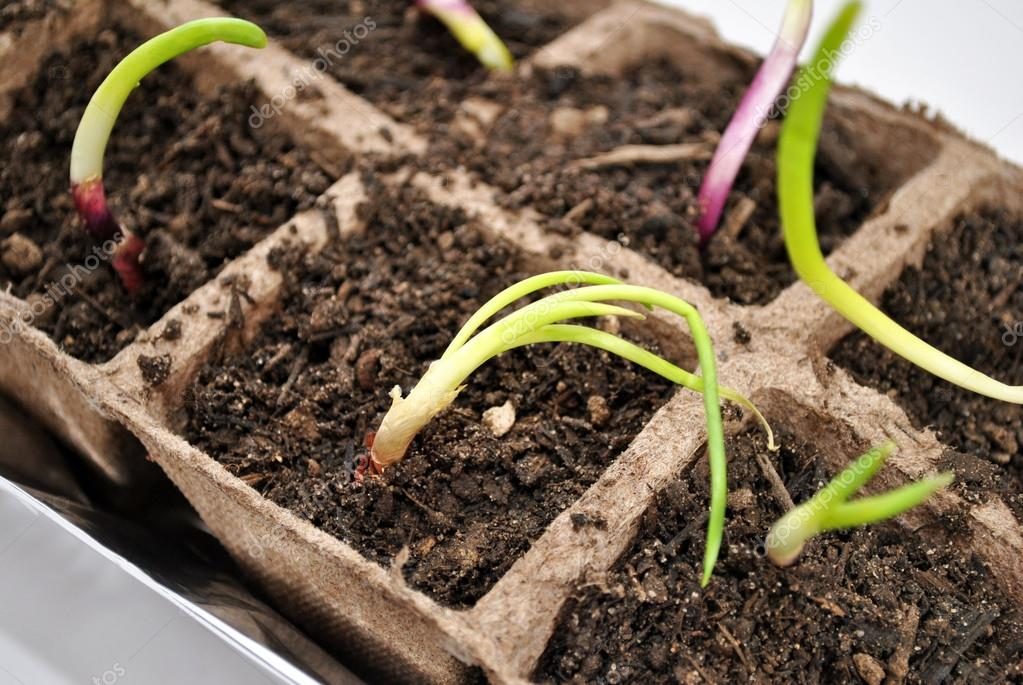 Close-Up of Red Onion Sprouts Growing