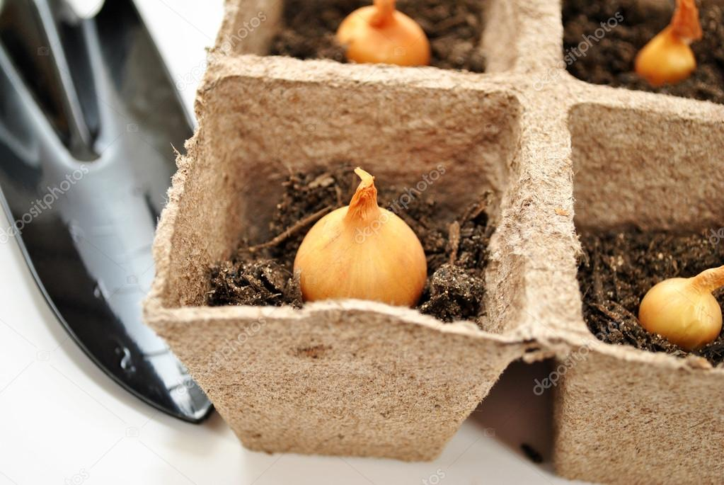 Close-Up of Planting Onion Bulbs in Peat Pots
