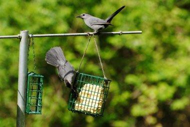 Two Grey Birds on a Summer Feeder