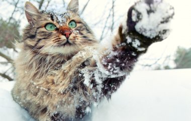 Cat playing with snow