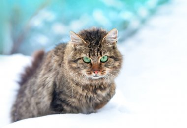 Cute siberian cat walking in the snow