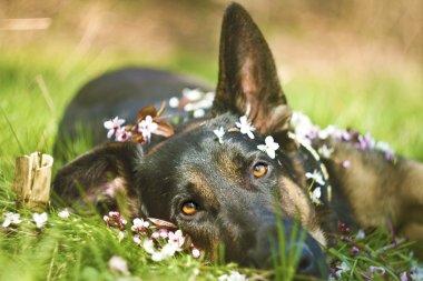 German shepherd dog puppy spring