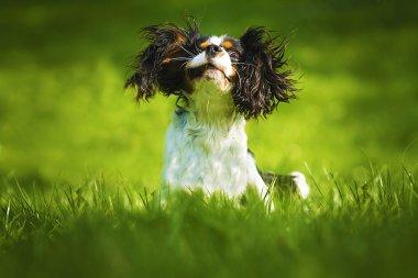Czechoslovakian wolfdog cavalier king charles spaniel puppy dog