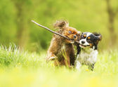 Photo two fun cavalier king charles spaniel dog and puppy running in s