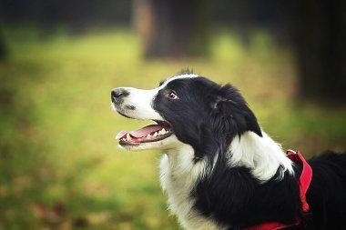 fun border collie dog puppy nature