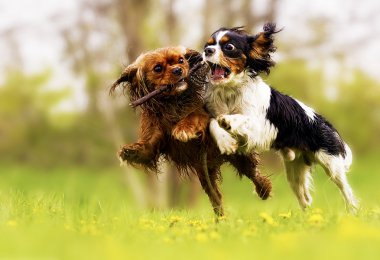 Two fun cavalier king charles spaniel dog and puppy running in s