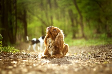 beautiful cavalier king charles spaniel dog puppy outdoors