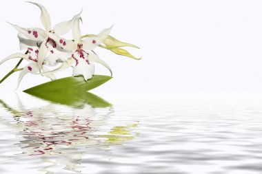 Inflorescence of white orchids with water reflection