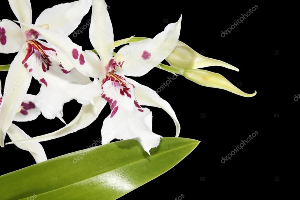 Close-up of isolated white orchids