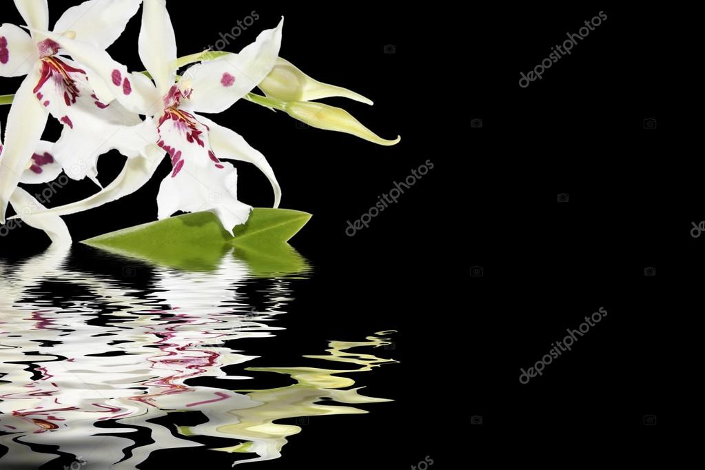 Inflorescence of white orchids and water reflection