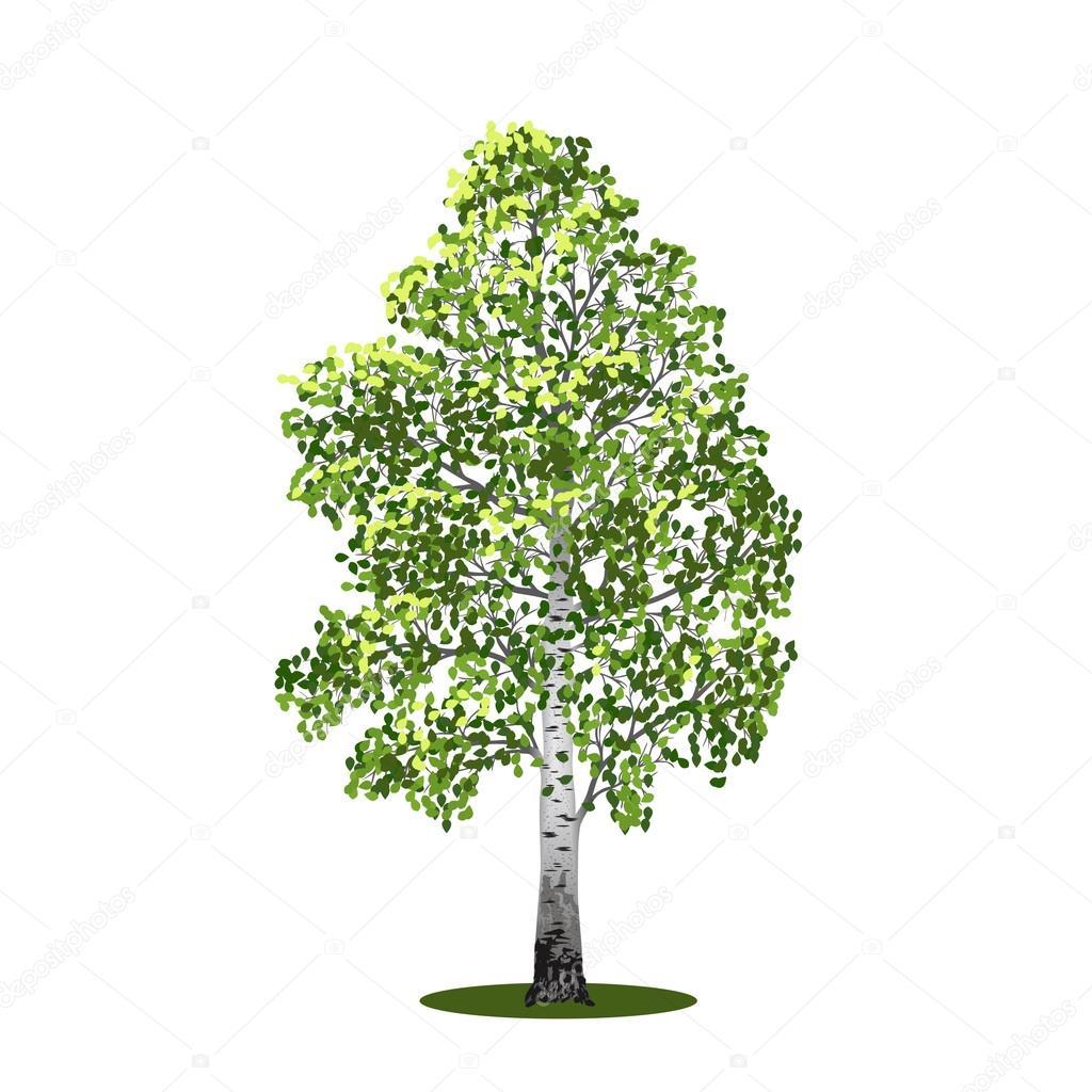 Береза дерево картинка