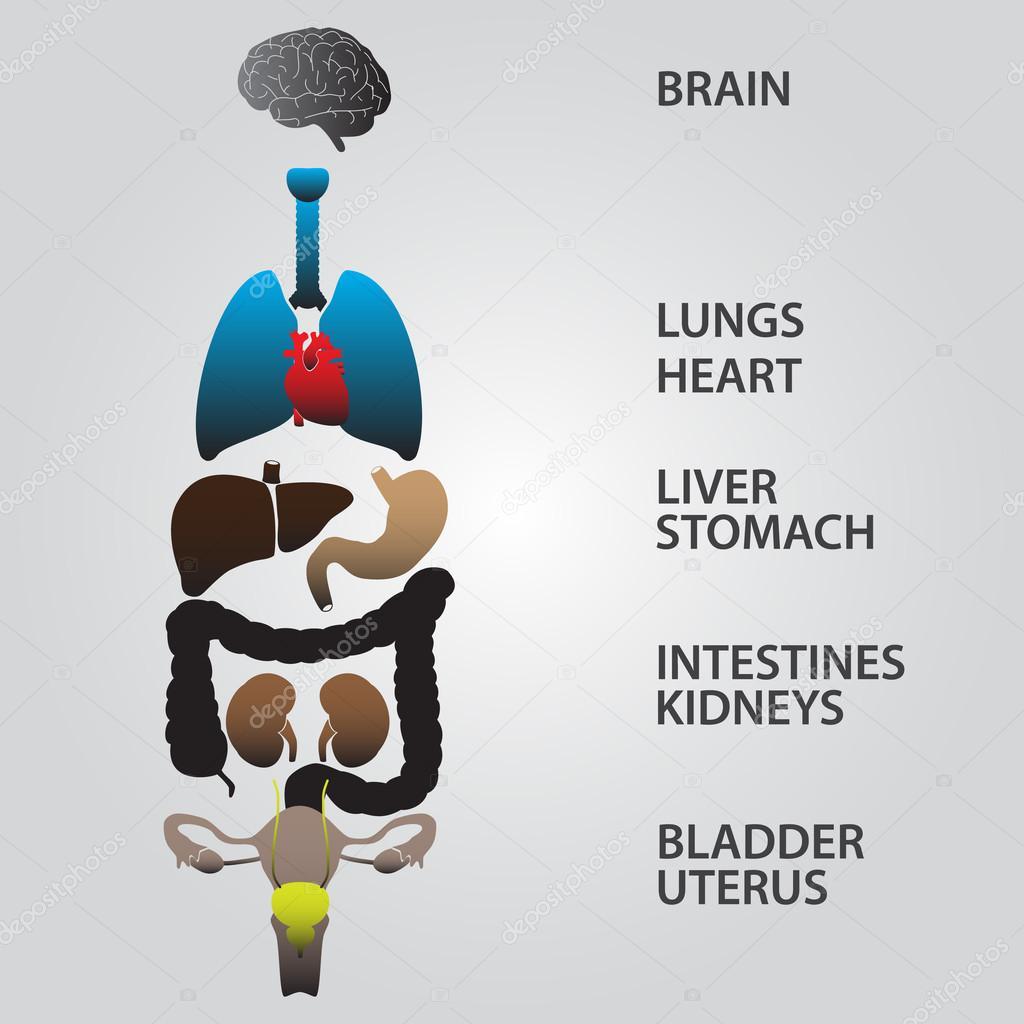 color eps10 órganos internos del cuerpo humano — Archivo Imágenes ...