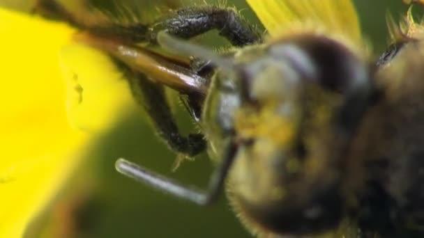 Pszczoła Mrożone Głowa Owada