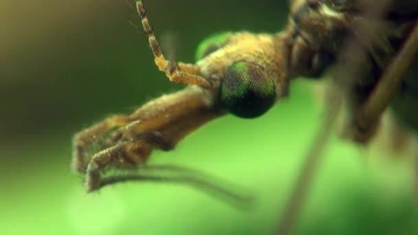 Kranichfliege Insekt Makromücke