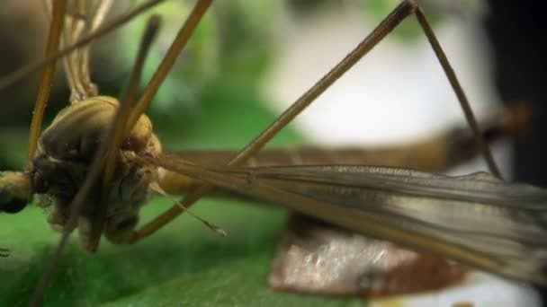 Schnaken Insekt Makro Moskito