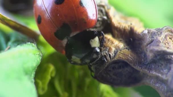 Beetle Ladybug macro insect bug