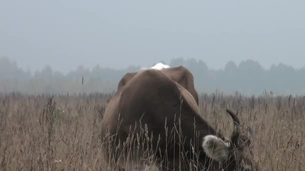 Brown Cow in background autumn meadow eating grass