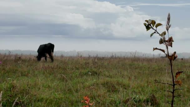 Hnědá kráva v pozadí podzimní louka jíst trávu