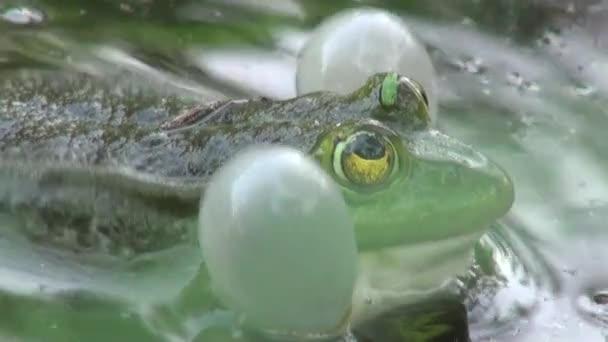 béka párzási időszak hüllők vízi állatok