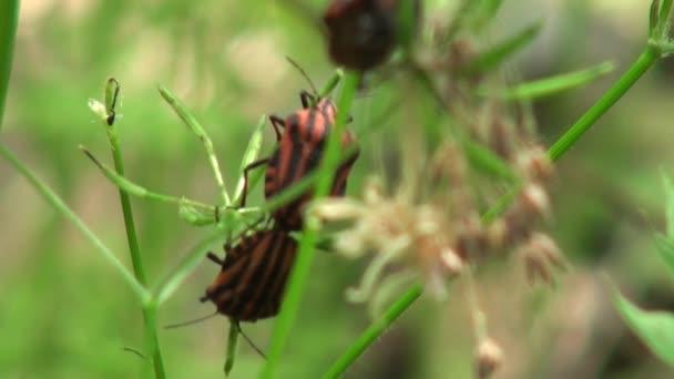 Chyba červené na linie obránců stéblo trávy hmyzu