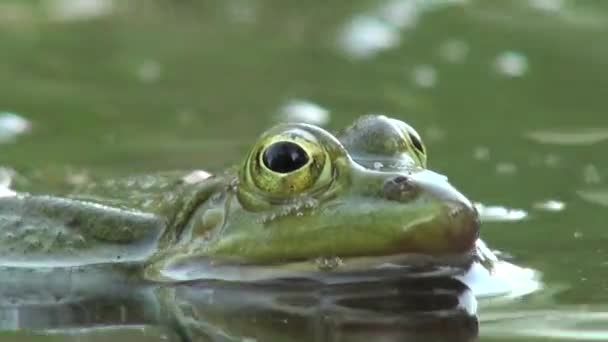 Frog mating period reptiles water animals