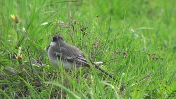 White Wagtail little grey bird sitting on the grass