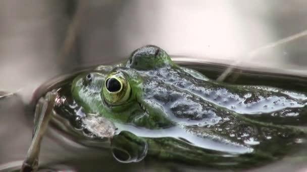 žába páření období plazi vodní živočichové