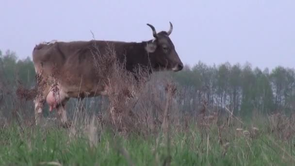 Cow in meadow with large horns