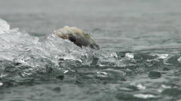 ryba okoun na ledu z řeky v zimě